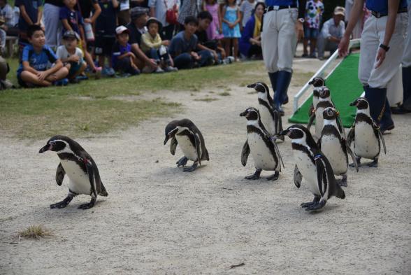 Nagasaki Penguin Aquarium - Humboldt Penguin's Walk
