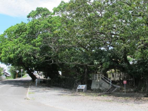 Akou (Ficus Superba var. Japonica)