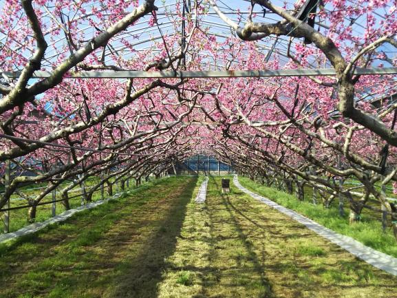 Peach Farm 2