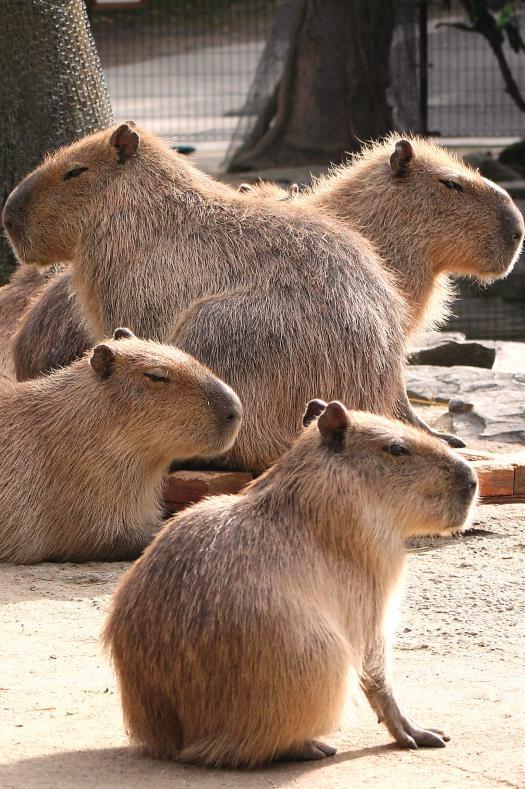 Capibara (Nagasaki Bio Park)