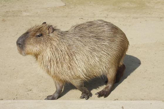 Capibara (Nagasaki Bio Park) 2