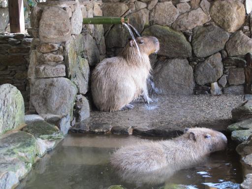 Capibara Bathing (Nagasaki Bio Park) 2