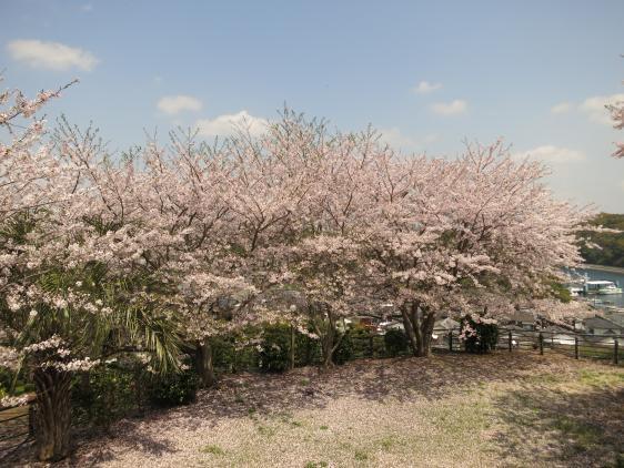 Yokoseura Park - Cherry Blossom 5