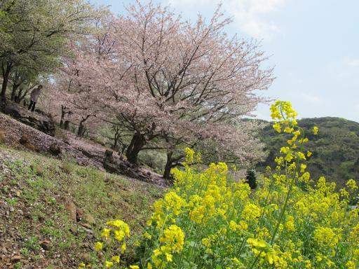 Shihondo Park - Cherry Blossom 3