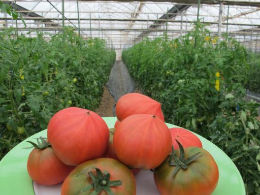 Oshima Tomato 2