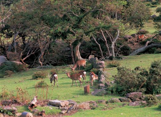 Ojika - Deer (Nozaki Island)