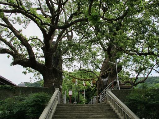 The Camphor Trees of Sanno Shrine