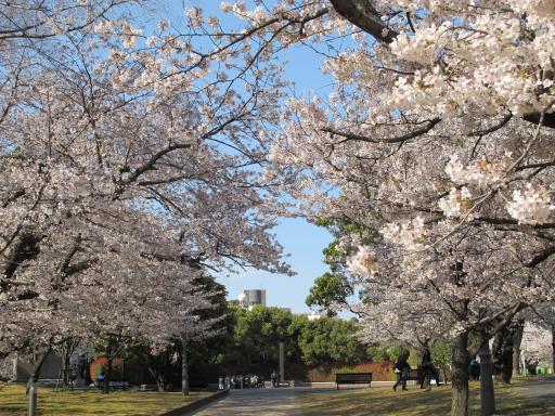 Nagasaki Hypocenter Park - Cherry Blossom 1