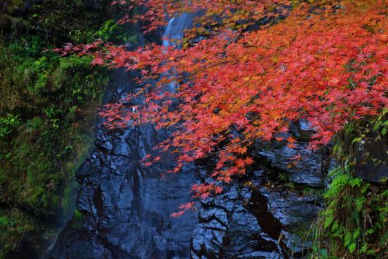 Todorokikyo (Fall Leaves) 2