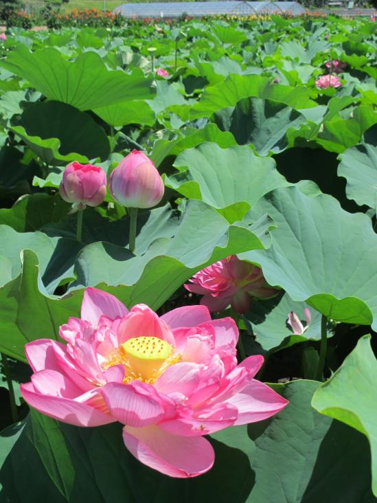 Karako Lotus Garden 1