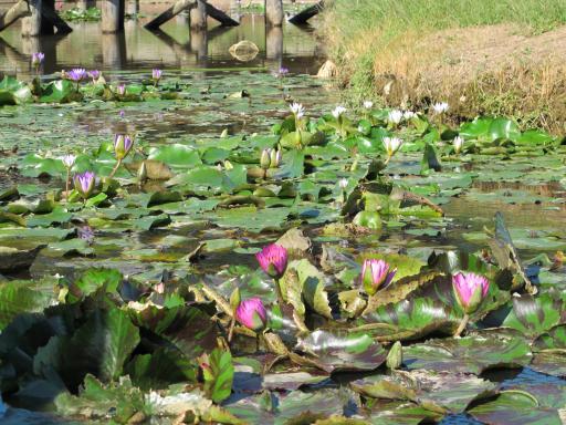 Karako Wetland Park - Karako Lotus Garden 2