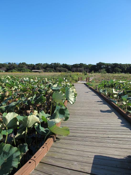 Karako Wetland Park - Karako Lotus Garden 3