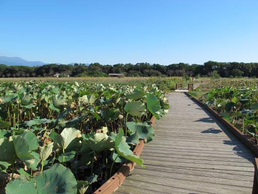 Karako Wetland Park - Karako Lotus Garden 4