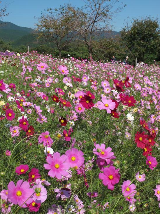 Shirakimine Plateau (Cosmos) 3