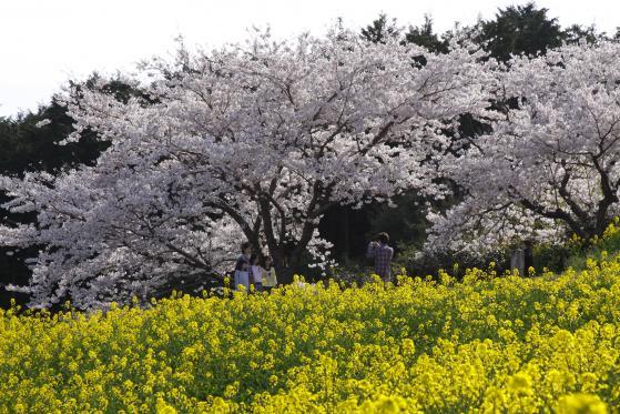 Shirakimine Plateau (Cherry Blossom & Canola flower ) 2