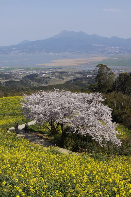 Shirakimine Plateau (Cherry Blossom & Canola flower ) 3