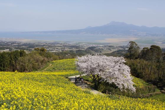 Shirakimine Plateau (Cherry Blossom & Canola flower ) 4