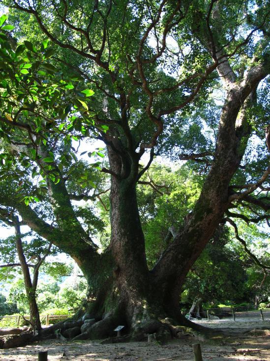 Isahaya Park - Giant Camphor Tree