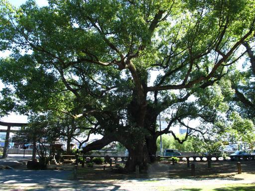 Isahaya Shrine -  Camphor Trees