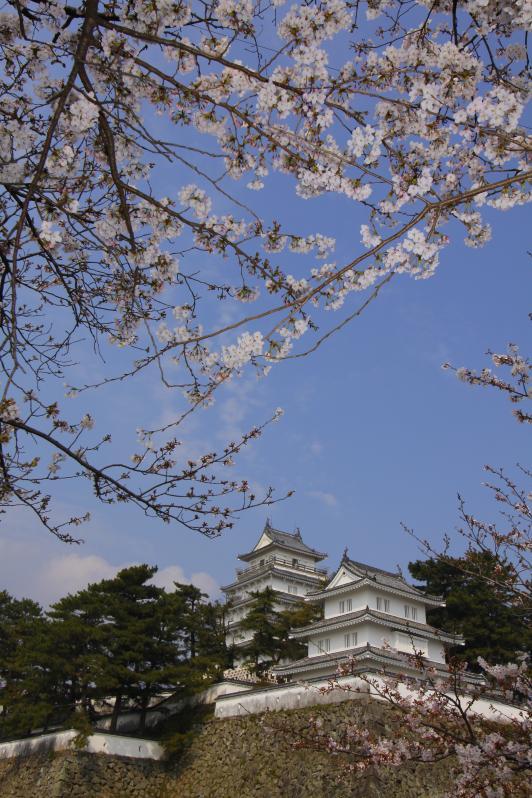 Shimabara Castle - Cherry Blossom 3