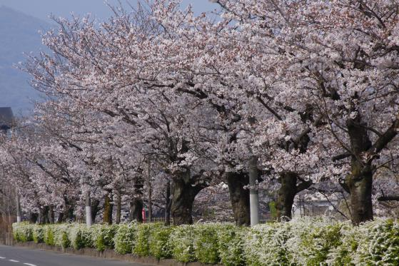 Cherry Blossom at Shimabara Castle 3