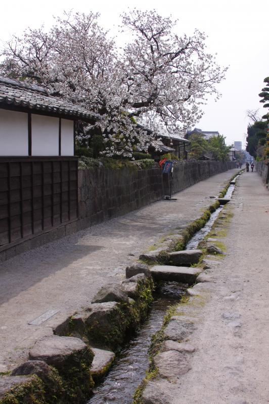 Shimabara Bukeyashiki (Samurai Residence) & Cherry Blossom 1