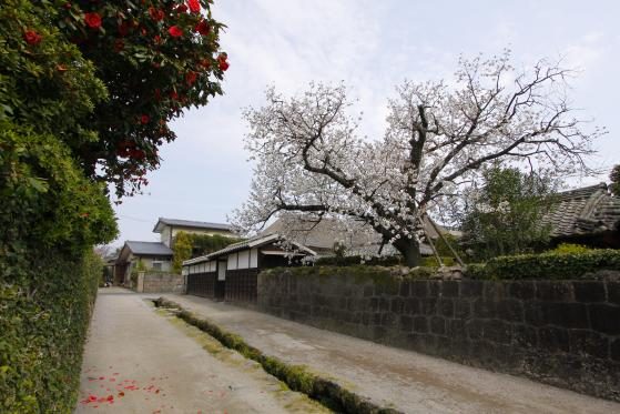 Shimabara Bukeyashiki (Samurai Residence) & Cherry Blossom 5