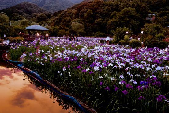 Sarayama Shobuen (Iris Garden) 2