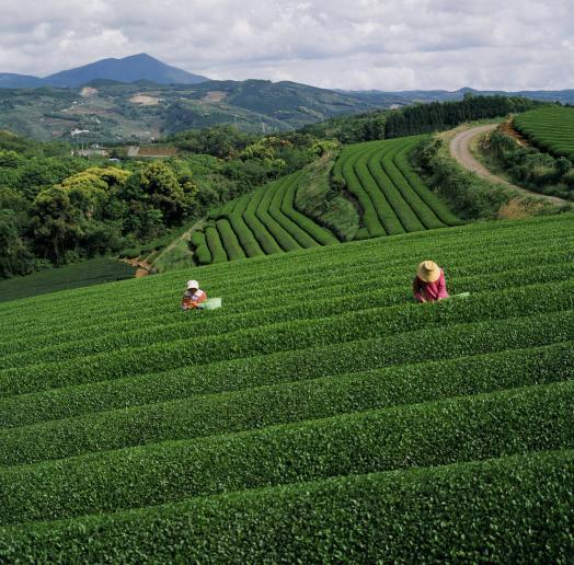 Sonogi Tea Plantation 3