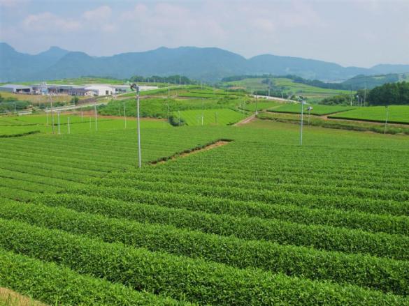 Sonogi Tea Plantation