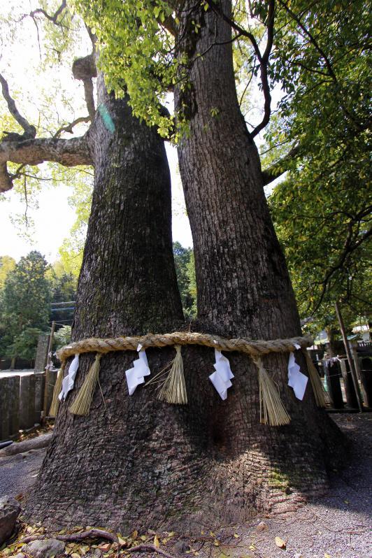 Sumiyoshi Shrine - Camphor Tree