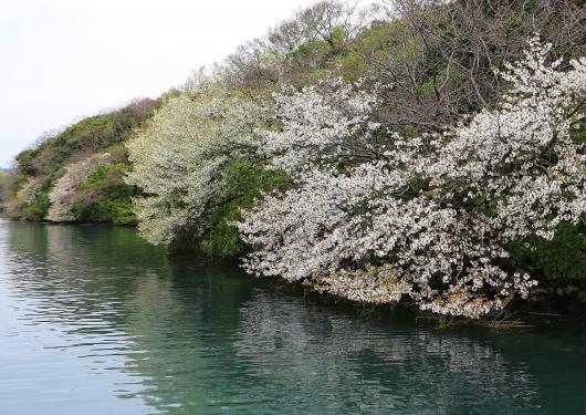 Hansei Bay - Yamazakura