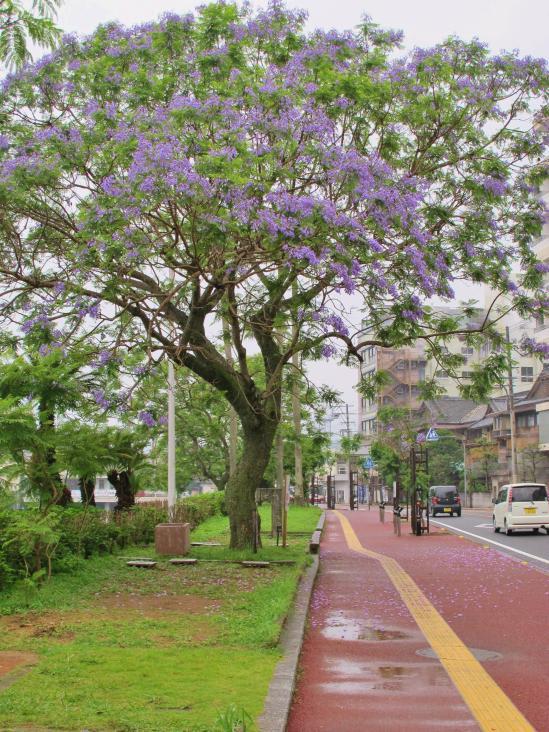 Jacaranda Tree (Obamacho) 1