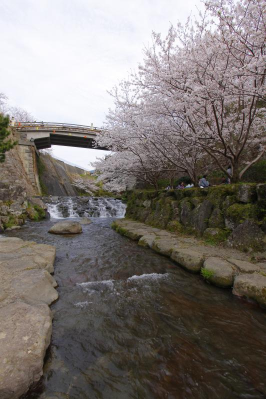 Tachibana Park - Sakura 1