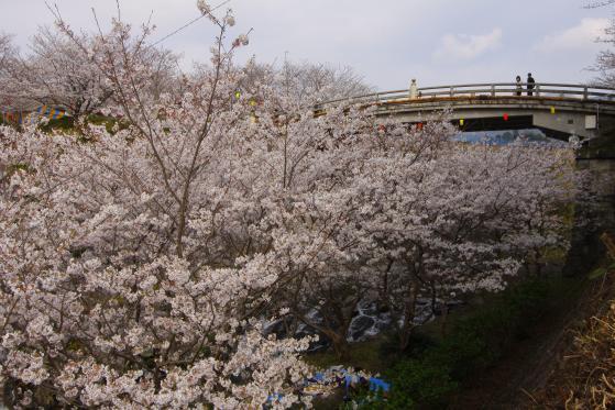 Tachibana Park - Sakura 2