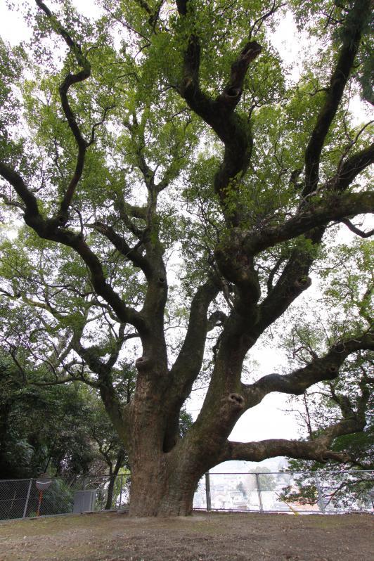 Camphor Tree in Obamacho